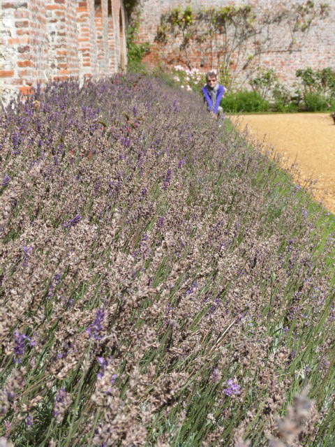 The lavender bed at Highclere Castle